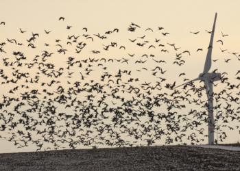 La mortalidad de aves y murciélagos se dispara con los grandes aerogeneradores de última generación
