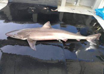 Tiburones en la Costa Brava: crónica de un declive anunciado