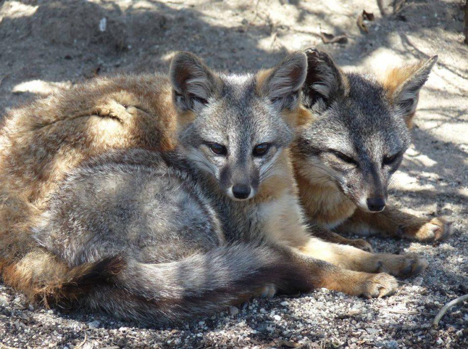 La crisis climática podría empeorar la situación del zorro más raro del mundo