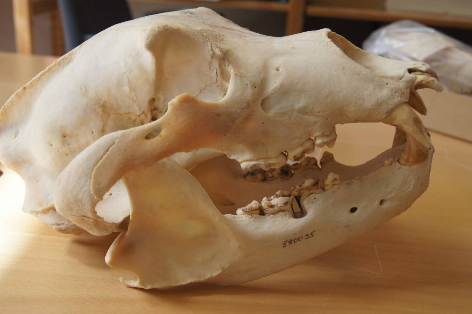 Los restos de osos pardos cuentan la historia del uso humano de antibióticos