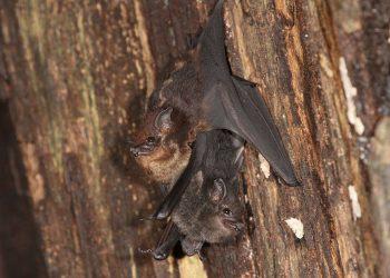 Las crías de murciélago balbucean de forma similar a los bebés humanos