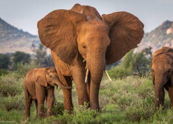 Efectos a largo plazo de la caza furtiva: los elefantes sin madre sobreviven menos