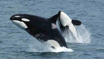 El MITECO pone en marcha un estudio sobre la interacción de orcas con embarcaciones para la propuesta de medidas de prevención y actuación