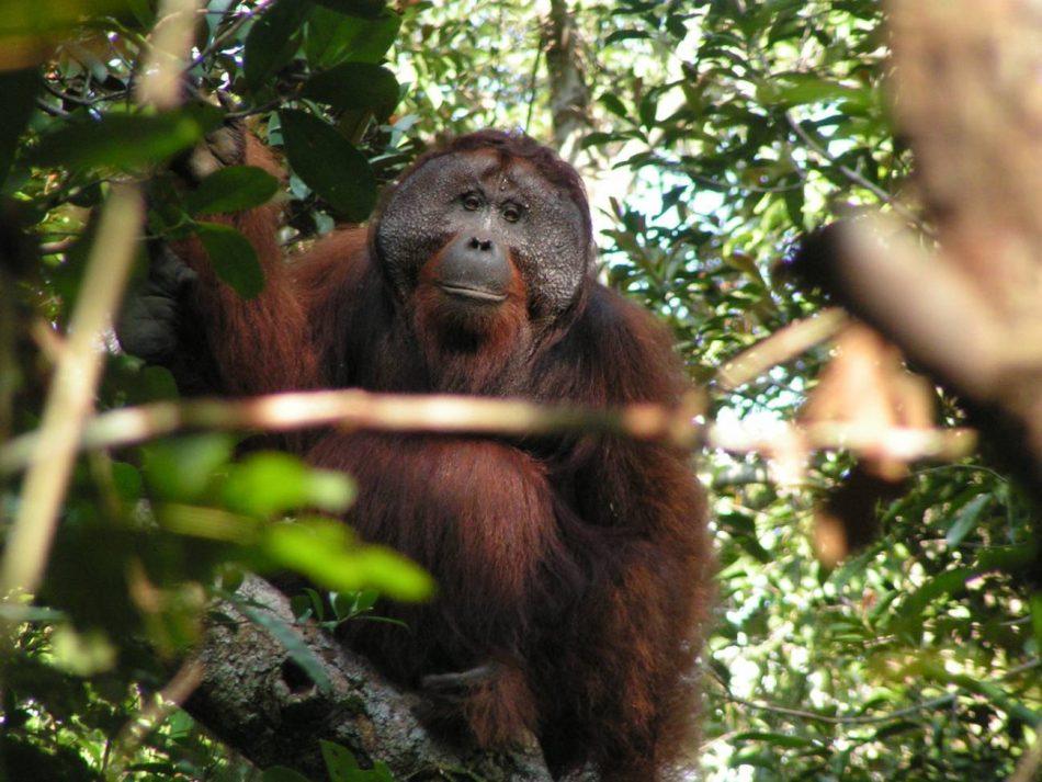 Las llamadas de los orangutanes viajan por la selva sin perder significado